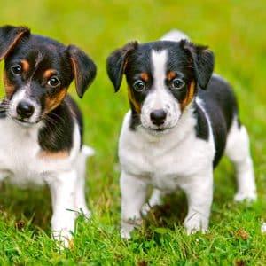 Castorland060337 Jack Russel Terrier Puppies 01 Legpuzzels