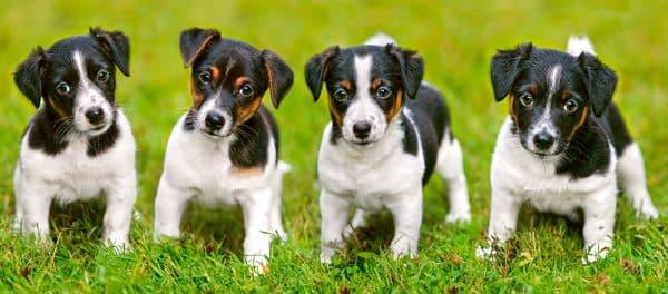 Castorland Jack Russel Terrier Puppies Legpuzzels
