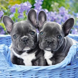 Castorland104246 2 French Bulldog Puppies 01 Legpuzzels