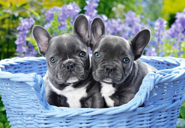 Castorland104246 2 French Bulldog Puppies 01 Legpuzzels