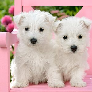Castorland151721 2 White Terrier Puppies 01 Legpuzzels