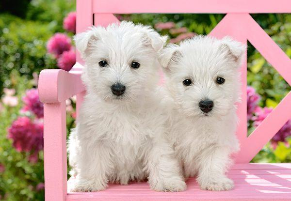 Castorland151721 2 White Terrier Puppies 01 Legpuzzels