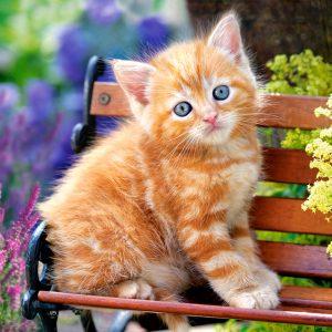 Castorland52240 2 Ginger Kitten 01 Legpuzzels