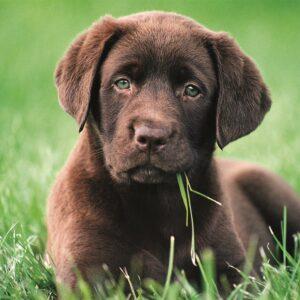 Chocolade Puppy Clementoni