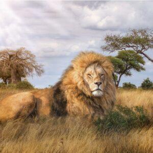 De Koning Leeuw Clementoni