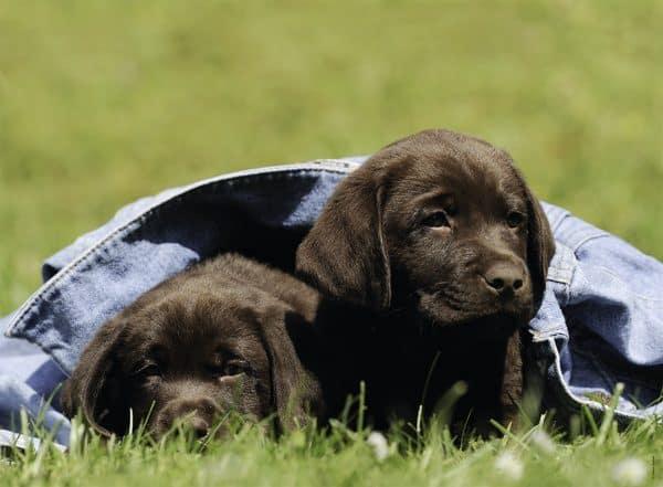 Labrador Pups Ravensburger132096 01 Kinderpuzzels.nl .jpg