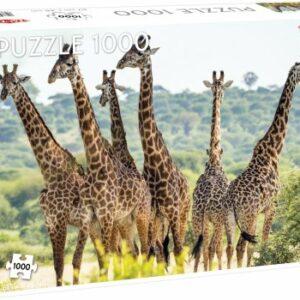 Tall Giraffes