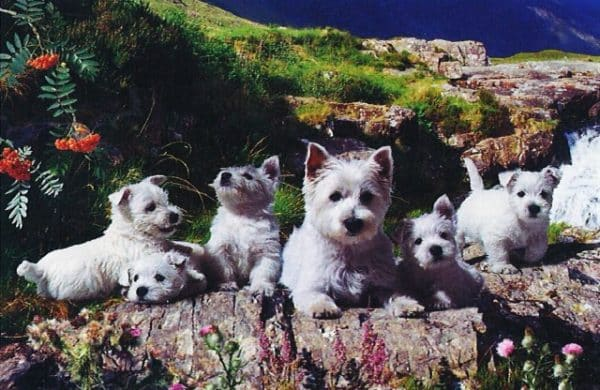 Westies The House Of Puzzles Legpuzzel 5060002000786 1.jpg