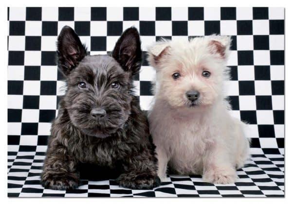 zwart wit puppy's